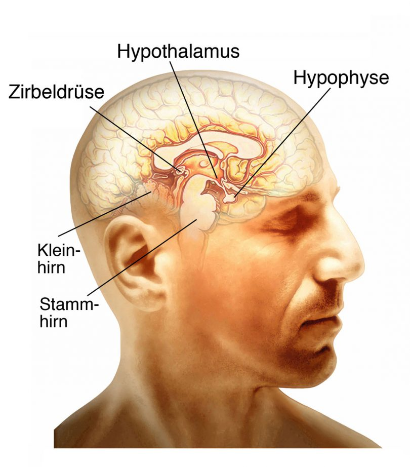 Hormone Gehirn